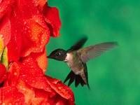 Колибри в цветке