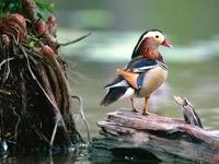Цветная птица на бревне