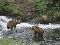 Трое медведей в горной реке
