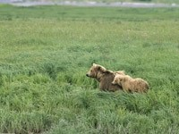 Медведица и двое медвежат в траве