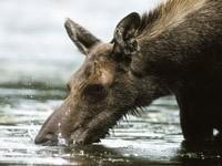 Лось пьет воду