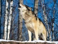 Воющий волк в березовой роще