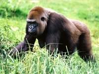 Шимпанзе собирает ягоды