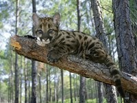 Котёнок ягуара на дереве