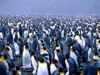 Стаи пингвинов