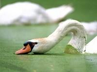 Лебедь кушает