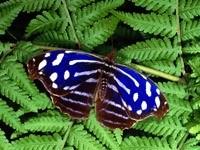 Сине-коричневая бабочка на папоротнике