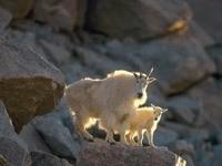 Горный козел с козлёнком