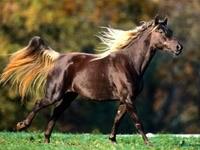 Темно-коричневый рысак