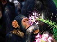 Обезьяна нюхает цветок