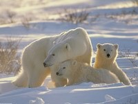 Белая медведица и медвежата на снегу