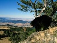 Черный медведь в горах