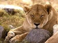 Пума спит на камне