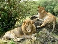 Лев и львица отдыхают