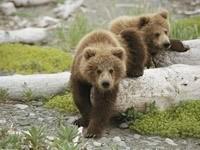 Пара медведей на бревнах