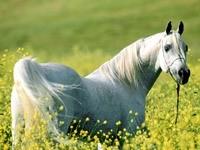Белая лошадь на поляне в цветах