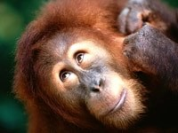 Прибалдевшая обезьяна