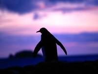 Пингвин на рассвете