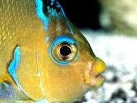 Желто-бирюзовая рыбка