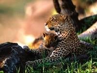 Леопард с детёнышем отдыхает
