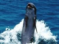 Прыжок дельфина над водой