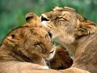 Львиные нежности