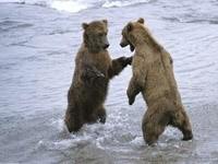 Игры медведей в воде