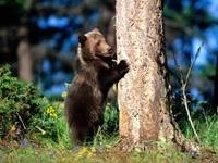 Медвежонок  спрятался за деревом