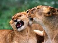 Львиные игры