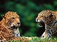 Два ягуара