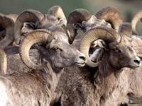 Стадо горных козлов