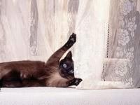 Кот играется гардиной