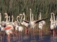 Стая фламинго в воде