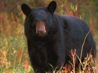 Черный медведь в траве