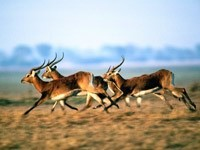 Бег антилоп