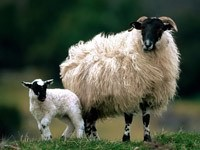 Овца с детёнышем