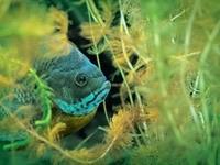 Рыба в водорослях