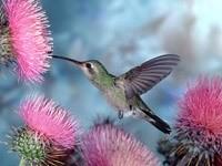 Колибри у цветка