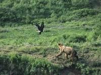 Встреча медведя с соколом