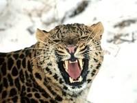 Оскал леопарда