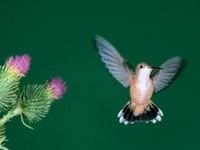 Колибри в полете у цветка