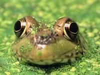 Морда лягушки из воды