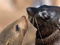 Знакомство морских котиков