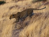Леопард на охоте