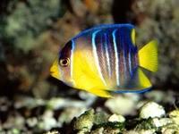 Сине-желтая рыбка