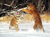 Игры тигров на снегу