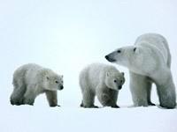 Два малыша с мамой белой медведицей