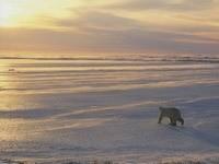 Путь полярного мишки
