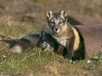 Двое маленьких  волчат