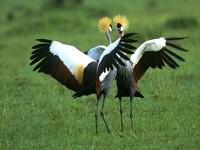 Две птицы танцуют танец